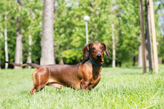 Dachshund dog. Portrait, in the park royalty free stock images