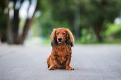 Dachshund dog posing outdoors Royalty Free Stock Photos