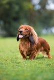 Dachshund dog posing outdoors Stock Photos