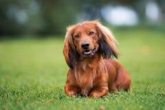 Dachshund dog posing outside Stock Photo