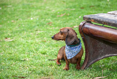 Dachshund dog on the prk Royalty Free Stock Images