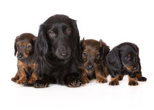 Dachshund dog with puppies Royalty Free Stock Image
