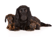 Dachshund dog with puppies. Black dachshund dog with puppies Royalty Free Stock Photo