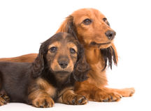 Dachshund dog and puppy Stock Photos