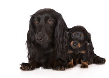 Dachshund dog with a puppy Royalty Free Stock Image
