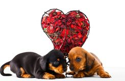 Dachshund Dog puppy Red Heart Studio royalty free stock photo
