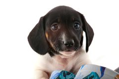 Dachshund dog puppy shoes studio quality. Light stock photos