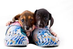 Dachshund dog puppy shoes studio quality. Light stock images