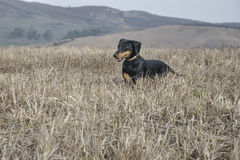 Dachshund dog running in a field. Royalty Free Stock Photography