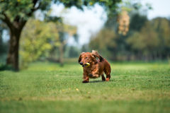 Dachshund dog running outdoors Royalty Free Stock Images