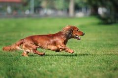 Dachshund dog running outdoors Stock Photos