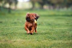 Dachshund dog running outdoors Stock Photography