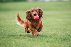 Dachshund dog running outdoors Royalty Free Stock Photo