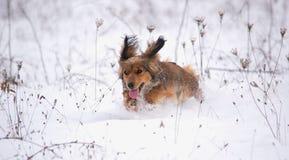 Dachshund dog running in the snow Stock Photos