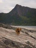 Dachshund dog runs on a stone.  Stock Photos