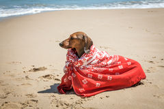 Dachshund dog with scarf on beach Royalty Free Stock Photo