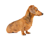 Dachshund dog side view Royalty Free Stock Images