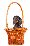 Dachshund Dog sitting in basket on  white Stock Images