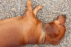 Dachshund dog sleeping . Royalty Free Stock Images