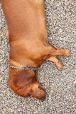 Dachshund dog sleeping on stone. Royalty Free Stock Images