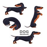 Dachshund dog with black fur in various positions Stock Photography