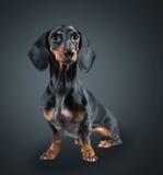 Dachshund dog. Smooth-haired dachshund dog on black background Stock Image