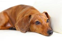 Dachshund dog on sofa Stock Images