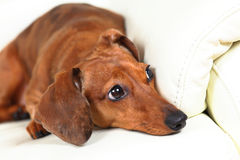 Dachshund dog on sofa Stock Photography