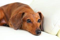 Dachshund dog on sofa Stock Image
