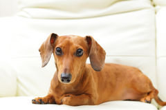 Dachshund dog on sofa Stock Photos