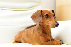 Dachshund dog on sofa Royalty Free Stock Images
