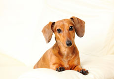 Dachshund dog on sofa Stock Photo