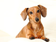 Dachshund dog on sofa Royalty Free Stock Photo