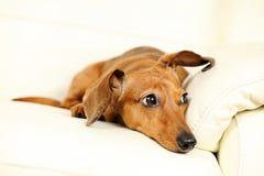 Dachshund dog on sofa Royalty Free Stock Images