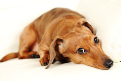 Dachshund dog on sofa Royalty Free Stock Photography