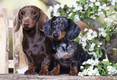 Dachshund dog and spring flowers Stock Photos