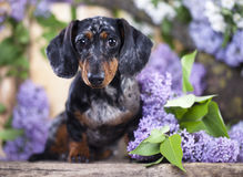 Dachshund dog and spring flowers Royalty Free Stock Image