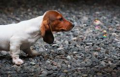 Free Dachshund Dog Spring Season Garden Royalty Free Stock Image - 117412676