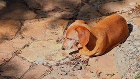 Dachshund Dog Summer season Garden. Day stock footage