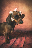 Dachshund dog with sunglasses and flowers on her head Royalty Free Stock Photos