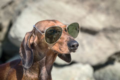 Dachshund dog with sunglasses at sea Stock Image