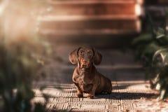 Dachshund dog. Walking on the green grass stock photo