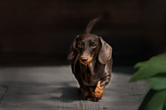 Dachshund dog walking Royalty Free Stock Photography