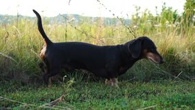Dachshund dog is walking outdoor. stock video