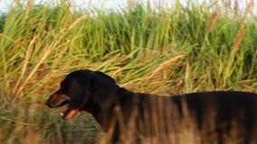 Dachshund dog walking sniffing grass stock footage