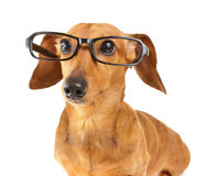Dachshund dog wear glasses Stock Photo