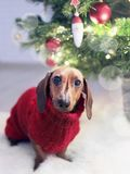 Dachshund Dog Wearing a Red Sweater Royalty Free Stock Photo