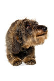 Dachshund dog on white background Stock Photo