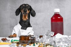 Dachshund dog in a white lab coat sitting behind a desk littered with drugs. Smart dachshund dog in a white lab coat sitting behind a desk littered with drugs