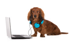 Dachshund dog working on a laptop royalty free stock photo